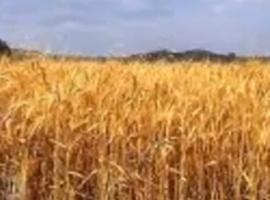 שירי שבועות גלי עטרי - שיבולת בשדה